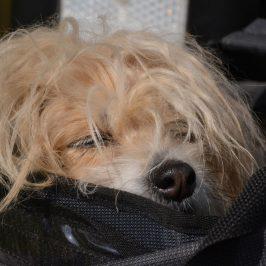 Hundetransport: Worauf achte ich?