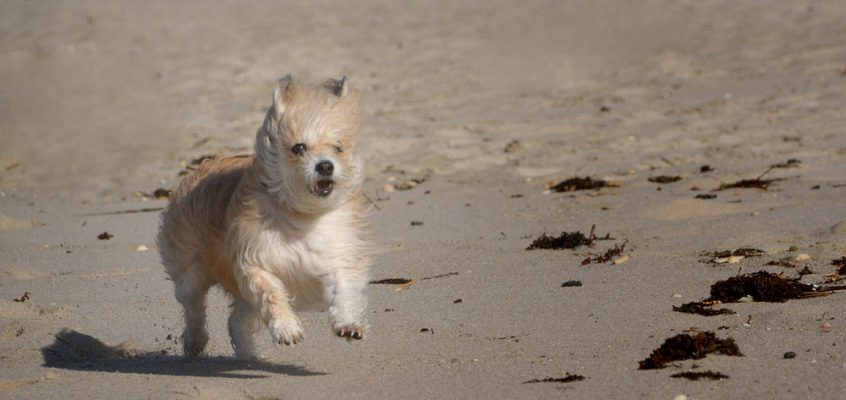 Kleine Hunde und ihre Vorteile